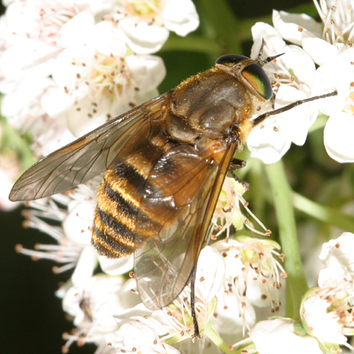 Tabanid - Stonemyia tranquilla