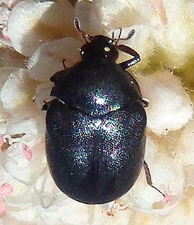 small beetle - Orphilus subnitidus