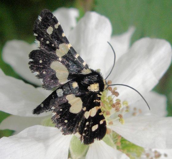 Unknown white spotted black flyer - Thyris sepulchralis