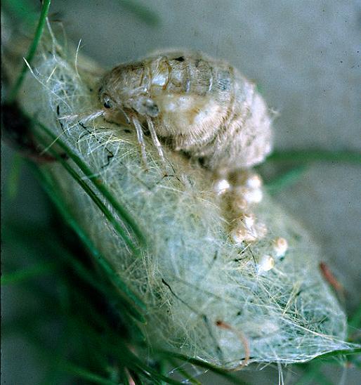 Definite Tussock female - Orgyia definita - female