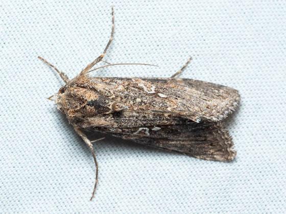 moth ID? - Trichoplusia ni