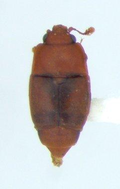 Carpophilus marginatus