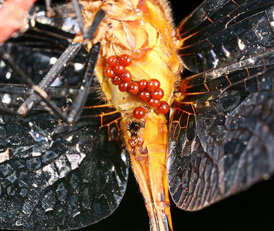 Red mites on dragonfly - Arrenurus