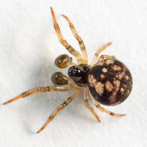 spider - Theridiosoma gemmosum