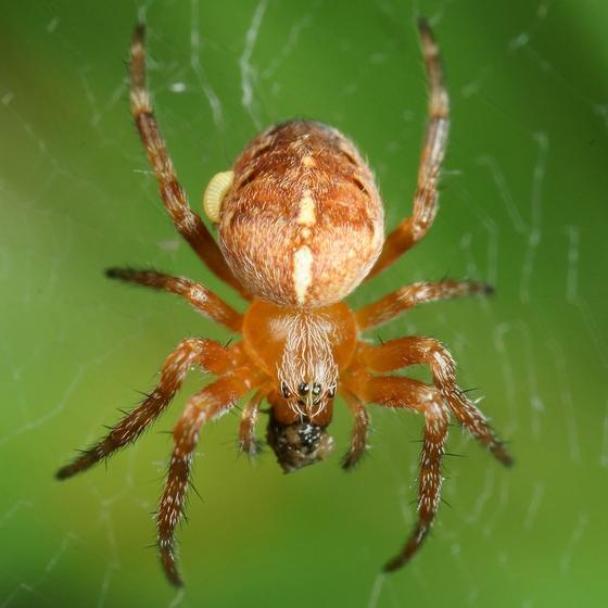 Spider w/ parasititic larva? - Araneus diadematus