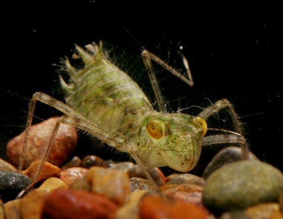 Dragonfly larva, Carolina Saddlebags