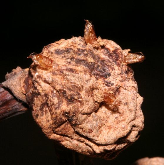 Cecidomyiidae, hardened gall - Asphondylia helianthiglobulus