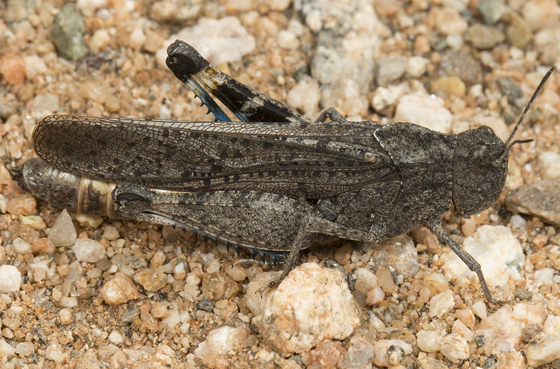 grasshopper - Arphia ramona