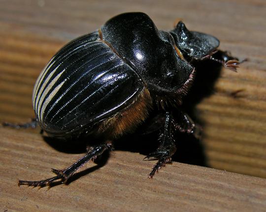 Big Black Beetle - Dichotomius Carolinus - Bugguidenet-1624