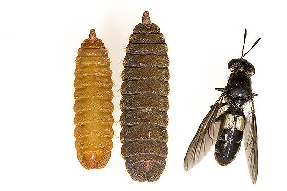 Hermetia illucens - Black Soldier Fly - Hermetia illucens - BugGuide.Net