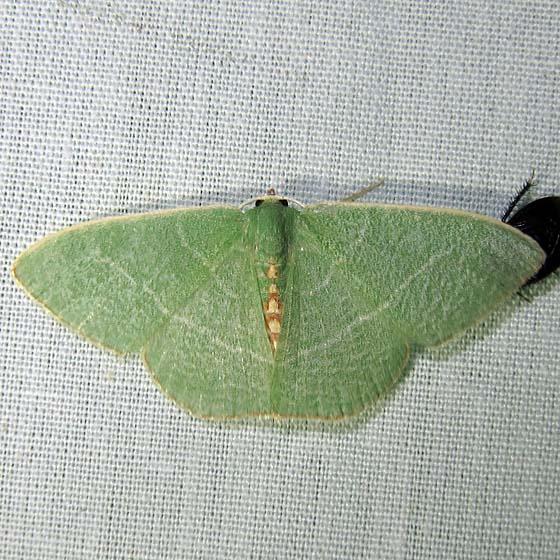 moth - Geometridae, Geometrinae - Nemoria