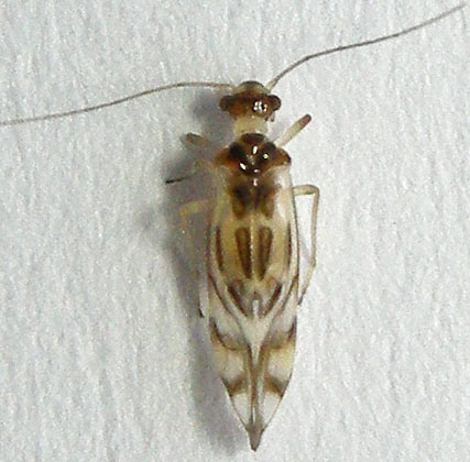 Narrow Barklouse - Graphopsocus cruciatus