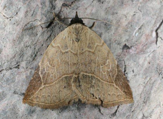 Moth T - Isogona segura