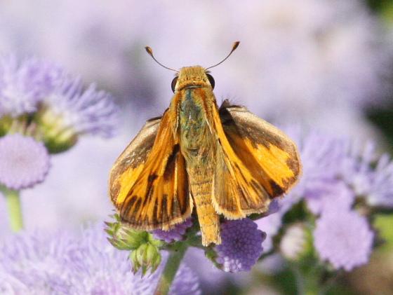 Zabulon? Skipper at Deep Cut Gardens - Hylephila phyleus