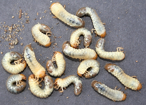 Japanese beetle grub - photo#20