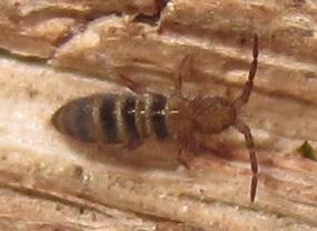 striped collembolan - Orchesella hexfasciata
