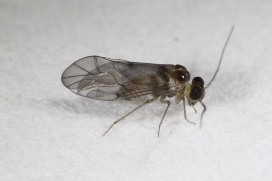 Peripsocus madidus (Hagen) - Peripsocus madidus - male