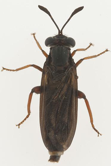 id help - Phyllomydas parvulus - male