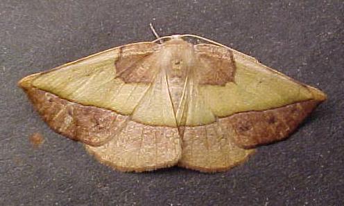 Unknown Moth - Eusarca fundaria