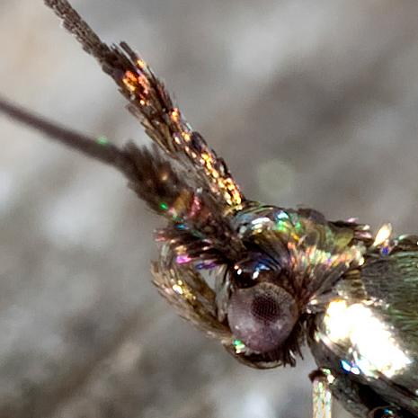 Seed Casebearer - Coleophora deauratella