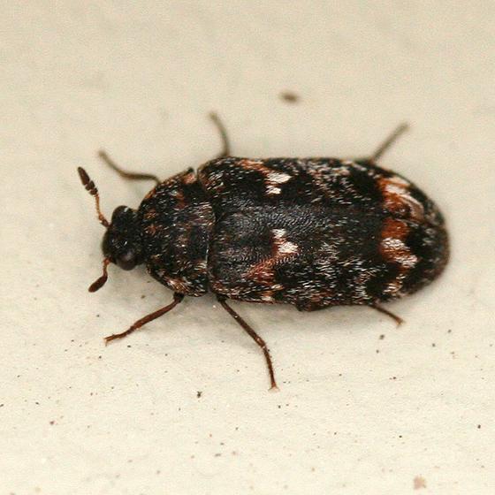 Carpet Beetle - Megatoma variegata - male