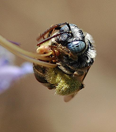 Bee - female
