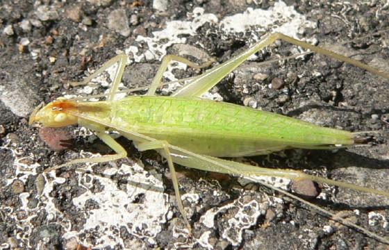 Narrow-winged Tree Cricket (Oecanthus niveus) - Oecanthus niveus - female