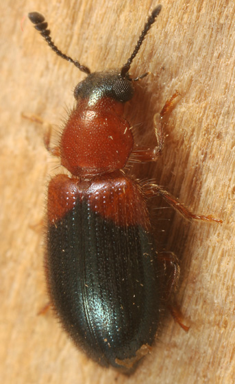 another cow carcass beetle - Necrobia ruficollis