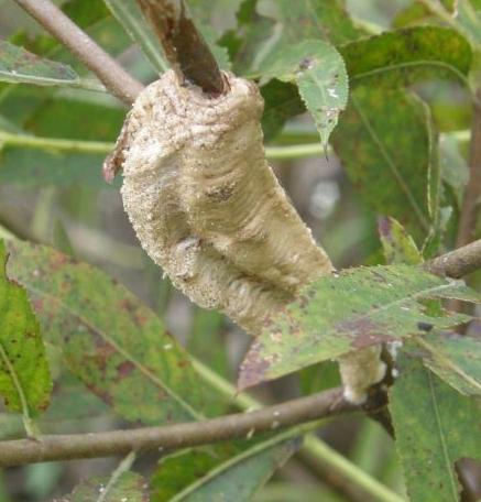 Narrow-Winged Mantis (Tenodera angustipennis) - Tenodera angustipennis