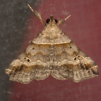 Dark-banded Owlet Moth  - Hodges #8338 - Phalaenophana pyramusalis