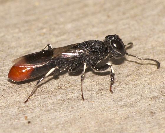 Wasp ID - Orussus terminalis
