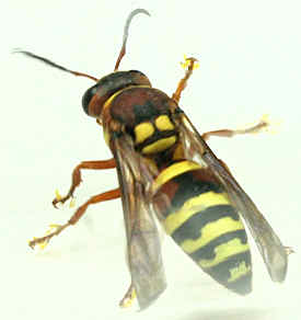 Vespid  - Pterocheilus quinquefasciatus