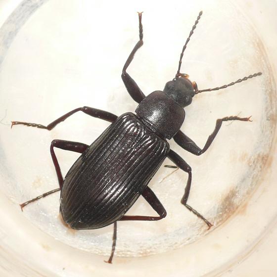 Darkling beetle - Xylopinus aenescens