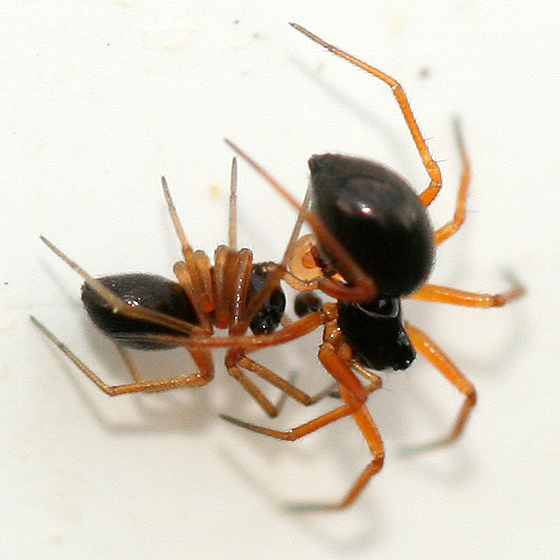 Tiny Black Spiders - Entelecara acuminata - male - female
