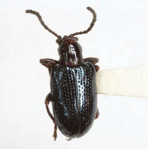 Oulema (Hapsidolemoides) palustris (Blatchley) - Oulema palustris