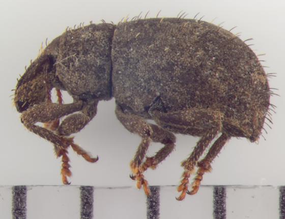 Curculionidae, lateral - Phyxelis rigidus
