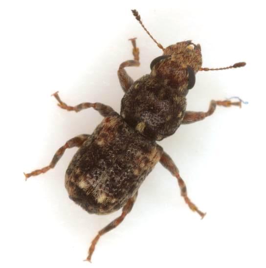 Goniocloeus bimaculatus (Olivier) - Goniocloeus bimaculatus