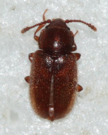 Silken Fungus Beetle - Cryptophagus laticollis