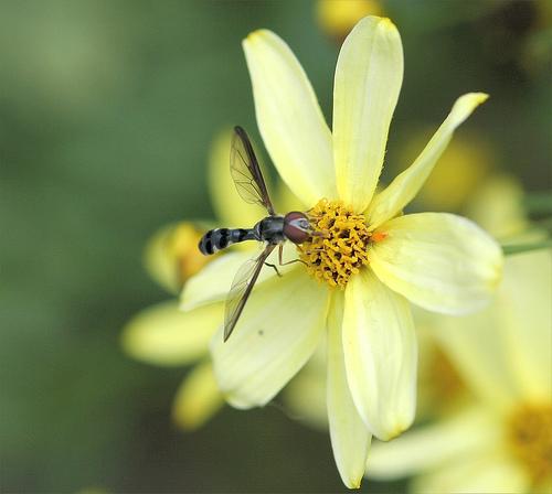 Ocyptamus costatus? - Pelecinobaccha costata