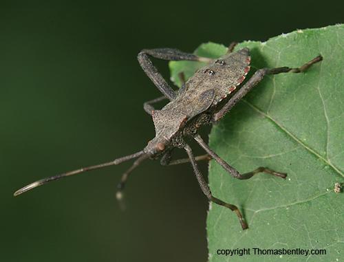 Leaf bug - Leptoglossus