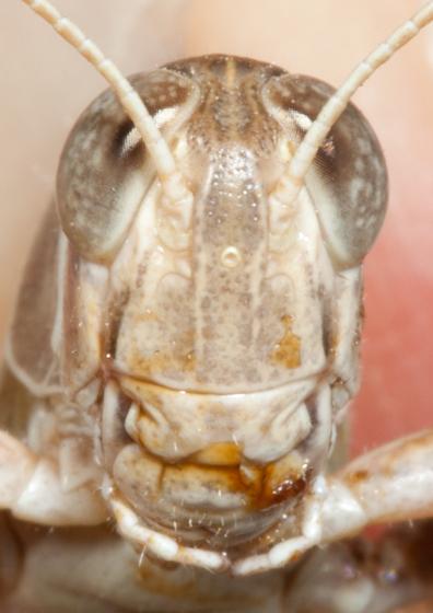 Valley Grasshopper - Oedaleonotus enigma - male