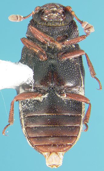 Sphindid - Odontosphindus denticollis