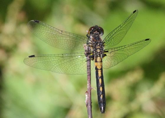 Dragonfly #2 - Leucorrhinia frigida