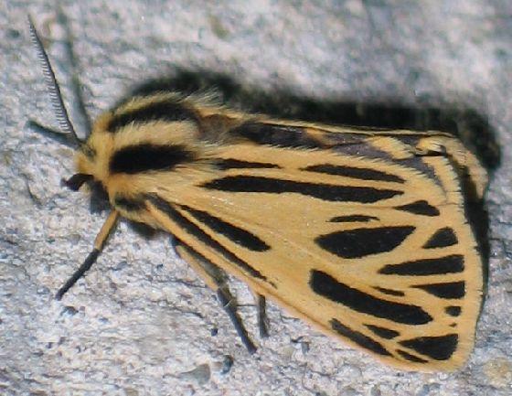 Little Virgin Tiger Moth - side - Apantesis virguncula