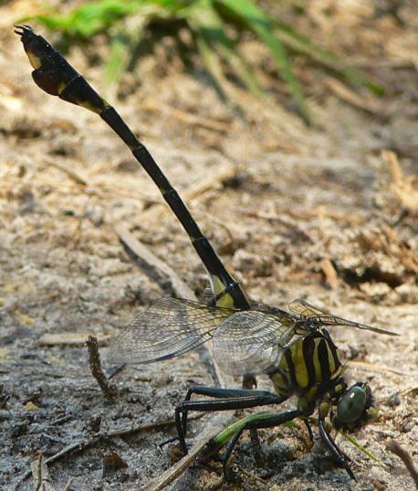 Blackwater Clubtail - Gomphurus dilatatus - male