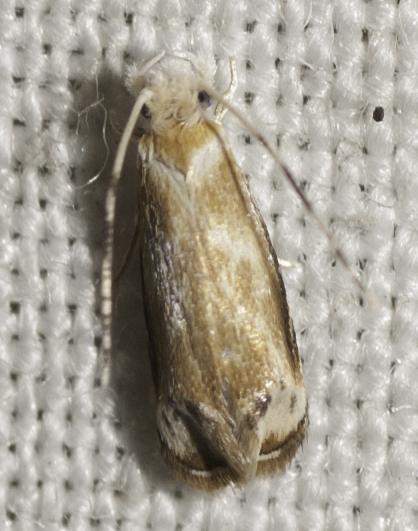 Another micro - Dryadaula terpsichorella