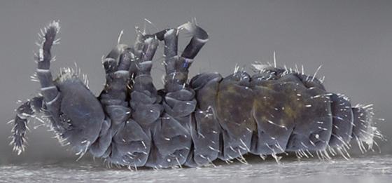 Springtail - Hypogastrura