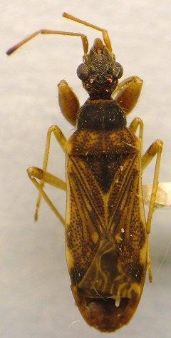 Seed Bug - Heraeus plebejus