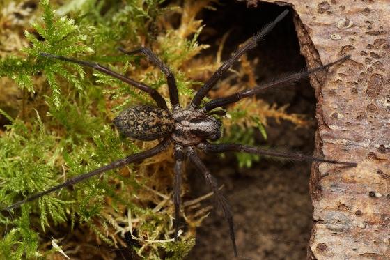 Adult female series - Eratigena atrica - female