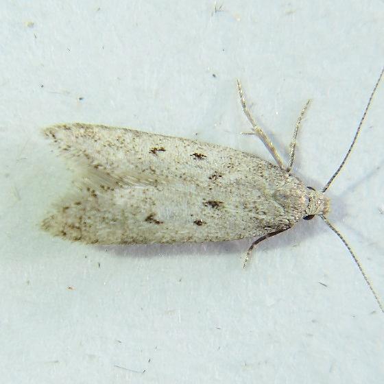 Ptycerata petrella 2045 - Scrobipalpopsis petrella